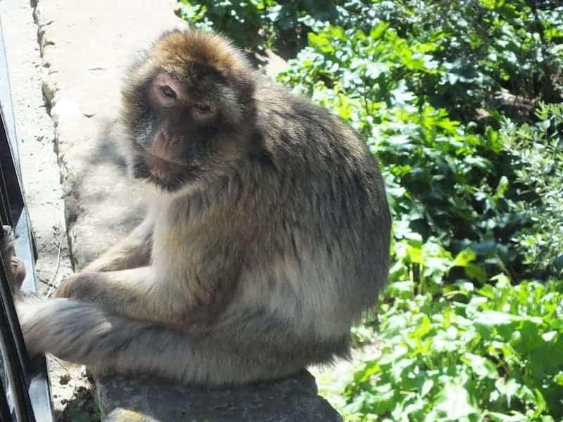 Monkeys of gibraltar